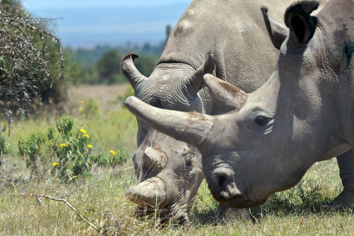 KENYA-CONSERVATION-ANIMAL-RHINO